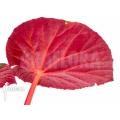 Begonia hernandioides