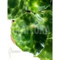 Begonia kingiana