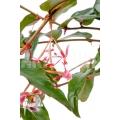 Begonia komoensis