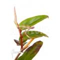 Begonia komoensis rooted cutting