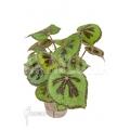 Begonia masoniana 'Iron Cross'