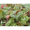 Begonia metallica