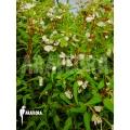 Begonia partita 'S'