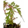 Begonia polilloensis starter