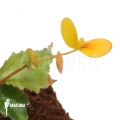 Begonia prismatocarpa 'L'