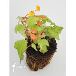 Begonia prismatocarpa 'M'