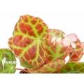 Begonia rajah 'M'