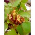 Begonia scutifolia
