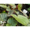 Begonia 'Small brown'