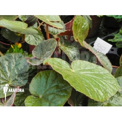 Begonia small brown
