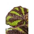 Begonia sp Vietnam 9