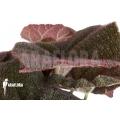 "Begonia sp Vietnam 1 ""L"""