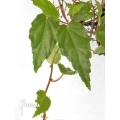 Begonia species 'Hanging'