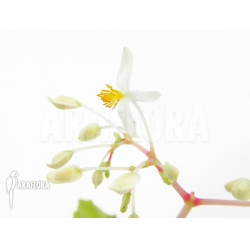 Begonia species terrarium small creeping