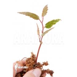 Begonia taiwaniana rooted cutting