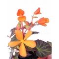 Begonia x Glowing embers