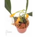 Orchidée 'Bifrenaria aureo-fulva'