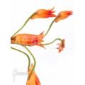 Orchidée 'Bifrenaria aureo-fulva' Starter'