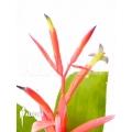 Bromélia 'billbergia leptopoda'