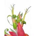 Bromélia 'billbergia x windii (nutans x decora)'