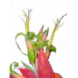 Billbergia x windii (nutans x decora)