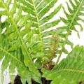 Fougère arborescente 'Blechnum gibbum'