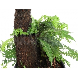 Example adult Blechnum nudum (treefern)