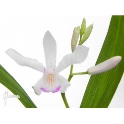 Bletilla striata 'white'