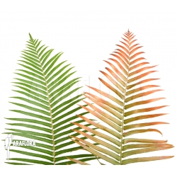 Leafes of Brainea insignis (treefern)