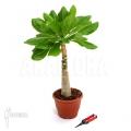 Hawaiian palm 'Brighamia insignis' 'L'