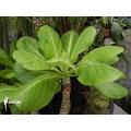 Hawaiian palm 'Brighamia insignis' 'M'