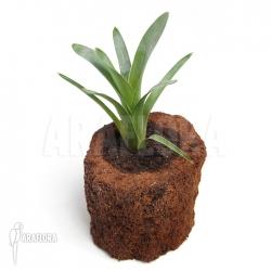 Brocchinia hechtioides (gran sabana)