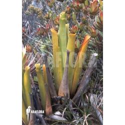 Brocchinia hectioides