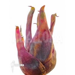 Bromeliad species Duida