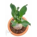 Brunsvigia grandiflora
