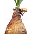Brunsvigia grandiflora 'L'