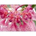 Orchidée 'Bulbophyllum eberhardtii' 'M'