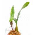 Orchidée 'Bulbophyllum falcatum' 'Starter'