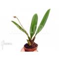 Orchidée 'Bulbophyllum rothschildianum' starter