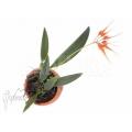 Orchidée 'Bulbophyllum tingabarinum'