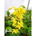 Orchidée 'Calanthe sieboldii'