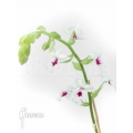 Orchidée 'Calanthe vestita var.rubra'