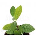 Plante de thé 'Camellia sinensis'