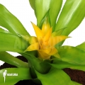 Bromélia 'Canistropsis billbergioides cv citron'