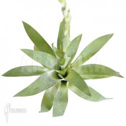 Catopsis berteroniana