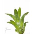Bromélia 'Catopsis berteroniana' 'starter'