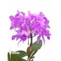 Orchidée  'Cattleya skinneri'