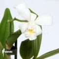 Orchidée 'Cattleya x Blondy'