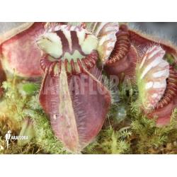 Cephalotus follicularis (L)