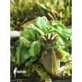 Cephalotus follicularis 'Giant'